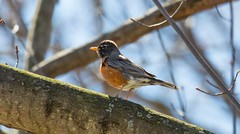 840A3000 (rpealit) Tags: bird nature robin river scenery wildlife trail national american waters winding refuge wallkill