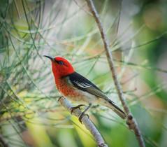 Scarlet Honeyeater (Myzomela sanguinolenta) (peter.carlsen) Tags: red birds queensland honeyeater redbird australianbird smallbird sigma150500mmoshsm nikond7100