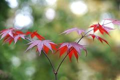 Maple leaves (JPShen) Tags: light sun green leaves leaf maple bokeh