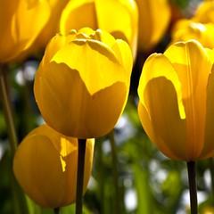 Lumignons (Gerard Hermand) Tags: park light paris france flower fleur yellow jaune canon stem bokeh lumire tulip parc tulipe bagatelle tige formatcarr eos5dmarkii gerardhermand 1604191286