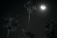 Four Palms (Curtis Gregory Perry) Tags: california longexposure bw moon white black tree santabarbara night nikon palm d800e