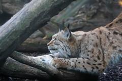 sharpening her claws (Cloudtail the Snow Leopard) Tags: female cat heidi zoo feline stretch sharp claw katze karlsruhe luchs krallen schrfen sharping pinselohr