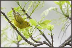 yellow warbler (Christian Hunold) Tags: bird philadelphia bokeh warbler songbird yellowwarbler johnheinznwr woodwarbler christianhunold gelbwaldsnger