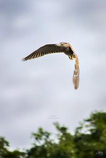 ..Black Crowned Night Heron (juvenile)...