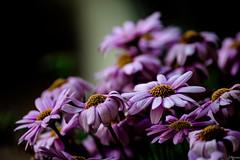 Un regalo (juliosabinagolf.) Tags: flower macro planta nikon flor manual nikkor brillante macrofotografa 55200mm profundidad floracin d3300