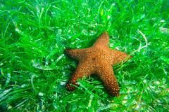 Starfish (Hendraxu) Tags: travel sea vacation fish green beach water fauna star seaside asia underwater starfish philippines bohol seashore traveldestination
