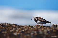 On A Mission (Ali Ly) Tags: sea bird beach water nikon day outdoor norfolk lowtide shorebird turnstone rspb wader d600 arenariainterpres titchwellmarsh