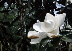 Magnolia (peachy92) Tags: usa ga georgia us unitedstates unitedstatesofamerica richmond augusta 2016 augustaga richmondcounty augustageorgia richmondcountyga richmondcountygeorgia phinizyswampnaturepark fujifilmfinepixxp200 phinizycenterforwatersciences