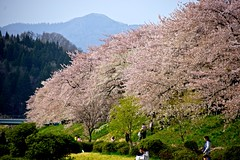 Sakura stream line (tez-guitar) Tags: mountain flower river cherry spring pentax blossoms petal bloom cherryblossom sakura pentaxart