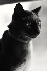 Cooper the cat (booklover713) Tags: lighting cat kitten kitty naturallight graycat windowlight greycat goodlight