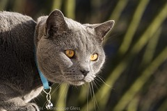 Bird watching (dom67150) Tags: animal cat chat chartreux socrate
