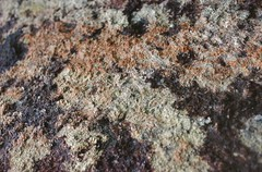 "Angavokely Lichen, Lucile_034.jpg • <a style=""font-size:0.8em;"" href=""http://www.flickr.com/photos/134534957@N02/23703267390/"" target=""_blank"">View on Flickr</a>"