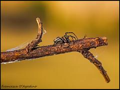 Dove c' una femmina c' sempre un maschio (Francesca D'Agostino) Tags: colors spider branch web ramo colori ragno ragnatela