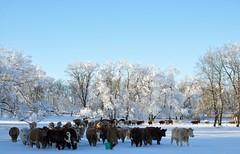 Winter Wonderland... (Jeannette Greaves) Tags: trees snow field corn cows hoarfrost hugh 2015 greaves rlpasture