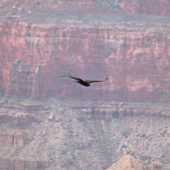 Condor (theeqwlzr) Tags: bird flying amazing outdoor grandcanyon flight canonrebelxti condorinflight