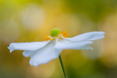 Japanese Anemone, white Anemone (onephotoeveryday) Tags: flowers light plants white flower color macro nature leaves garden season colorful bokeh anemone mature micro    freshness  singleflower       greenbackground whiteanemone japaneseanemone         whitecolor  greenbokeh    dsc9221jpg