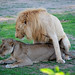 Safaris are an opportunity to study animal behaviour