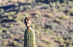 Redtail Hawk on Giant Saguaro Cactus (d24bishop) Tags: arizona phoenix giant hawk saguaro redtail blackcanyontrail