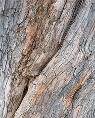 Acer saccharinum (Plant Image Library) Tags: trees winter plants plant ecology silver maple massachusetts january newengland mature bark acer trunk deciduous botany phenology saccharinum arboldarboretum