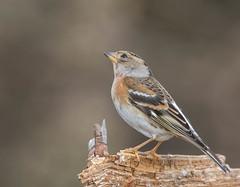 30 01 2016 (cathyk31) Tags: bird oiseau brambling fringillamontifringilla pinsondunord fringillids passriformes