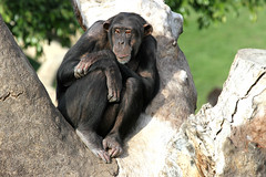 Chimpanzé (olivier.ghettem) Tags: valencia espagne primate valence singe chimpanzé animalsauvage bioparcvalencia