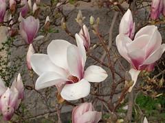Ein Vorgeschmack auf Frhling.. (mellane.karin) Tags: flower spring blossom magnolia blte frhling magnolie