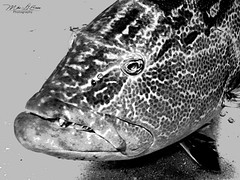 Grouper Face (mikederrico69) Tags: ocean sea bw fish macro marine scuba diving grouper