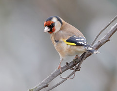 _F7R0559 Goldfinch (Carduelis carduelis) (Lathers) Tags: garden goldfinch warwickshire nuneaton cardueliscarduelis canonef500f4lisusm canoneos1dx 25january2016