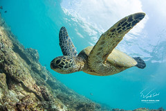 Skydreamer (Waubble) Tags: ocean water hawaii underwater pacific turtle 500px ifttt