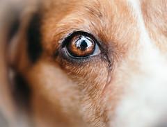friday || week 6 (cathy sly) Tags: dog macro eye beagle refection 366 28moments