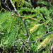 starr-070404-6609-Prosopis_juliflora-leaves_flowers_and_thorns-Keomoku_Beach-Lanai