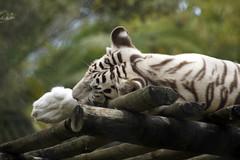 _DSC9403 (alfaluis) Tags: animal zoo pato jardim macaco tigre urso zoologico