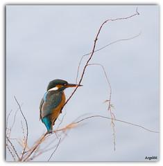 Martin Pcheur (Argel66) Tags: martin couleurs pecheur plumage