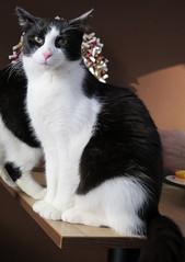 Prague (115) (Silvia Inacio) Tags: cats cat prague praha praga gatos tuxedo gata czechrepublic repblicacheca catscafe boenka kavrnakoi