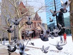 My Pigeons (Brooks Payne) Tags: urban nature birds boston geotagged massachusetts pigeons sony newengland cybershot copley backbay brooks brooksbos rx100m2 dscrx100m2