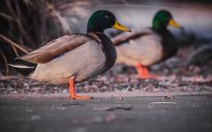 Duck IMG_5823.jpg (bnetty11) Tags: nature looking bokeh