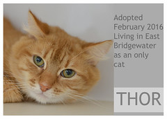 Thor-Adopted (Ali Crehan) Tags: cat february shelter adopted 2016