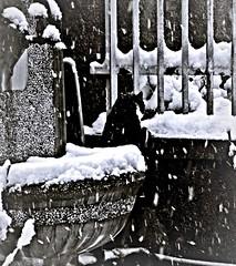 ora salgo nel mio giardino... (civetta delle nevi) Tags: neve inverno gatto giardino fiocchi allaperto