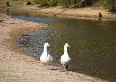 White Geese Duo walking in step- Happy Valentine! (PsJeremy) Tags: geese valentine goose instep