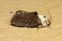 Lepidoptera (Moth sp.) - South Africa (Nick Dean1) Tags: insect southafrica moth insects lepidoptera arthropods arthropoda krugernationalpark arthropod hexapod insecta hexapods hexapoda