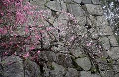spray to stonewall (_Count_Zero) Tags: ume umeblossoms