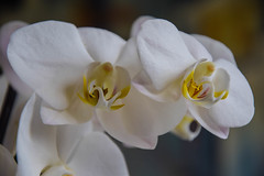 White orchid (Maria Eklind) Tags: white orchid flower blomma orkide