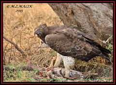 MARTIAL EAGLE (Polemaetus bellicosus)......MASAI MARA......OCT 2015 (M Z Malik) Tags: africa nikon kenya wildlife ngc safari masaimara maraserena d3x transmara exoticafricanbirds exoticafricanwildlife 200400mm14afs