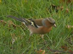 Pinson des arbres (moniquefouchereau) Tags: nature animal des arbres extrieur oiseau pinson