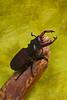 Lucanus cervus v1.1 - Kota Imai (P. Colman) Tags: paper origami beetle stagbeetle lucanus sd1merrill