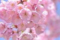 Spring has sprung! (snowshoe hare*) Tags: pink flowers spring  cherryblossoms botanicalgarden kawazuzakura  dsc0757