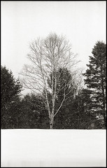 On Fourth Line, Sault Ste. Marie (~ Nando ~) Tags: leica trees winter snow ontario canada film monochrome cemetery analog 35mm 50mm kodak f14 trix rangefinder holy evergreen birch mp analogue 135 soo negativescan ilford asph rf saultstemarie 131 northernontario algoma sepulchre selfdeveloped leitz summiluxm nikoncoolscanved vuescan mmount ilfotechc leicasummilux50mmf14asph leicammount