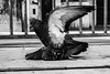 Pigeon Necrophilia (François Escriva) Tags: street bw white black paris france noir pigeon streetphotography olympus nb blanc omd necrophilia nécrophilie