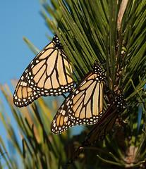 Three monarchs (v4vodka (back in Poland)) Tags: butterfly insect monarch milkweed wanderer monarchbutterfly motylek motyl commontiger blackveinedbrown danaidusplexippus