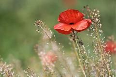coquelicots (Nadge Gascon) Tags: macro nature fleur canon rouge charente photographe coquelicots suaux
